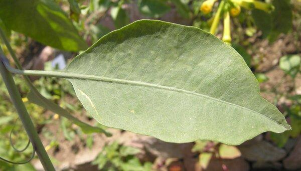 Nicotiana langsdorffii Weinm.