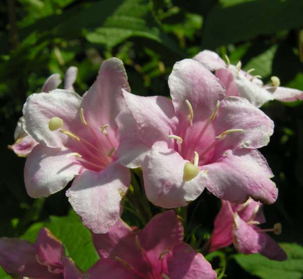 Weigela praecox (Lemoine) F.M.Bailey