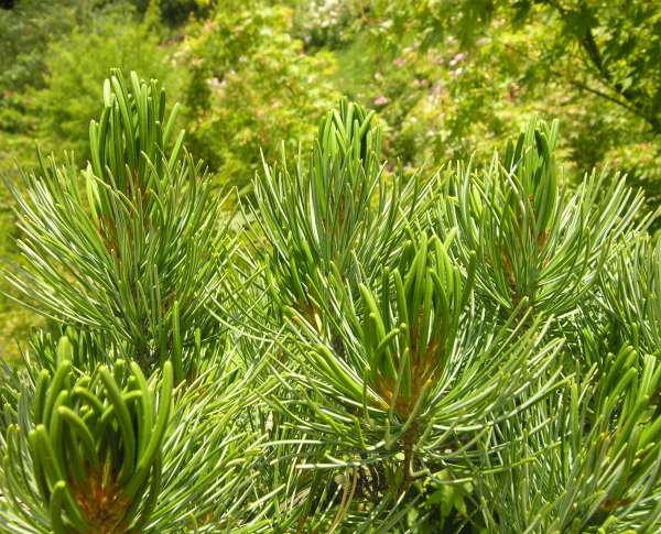 Pinus parviflora Siebold & Zucc.