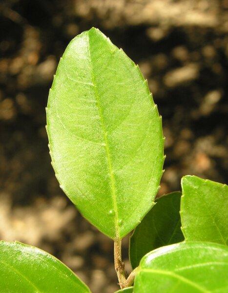 Rhamnus alaternus L. subsp. alaternus