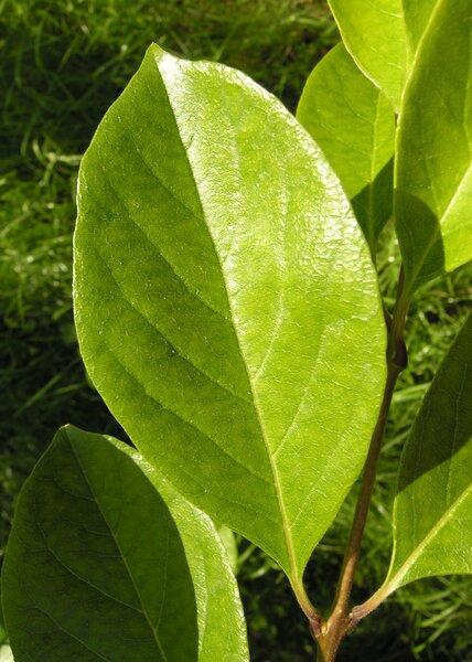 Oxydendron arboreum (L.) DC.