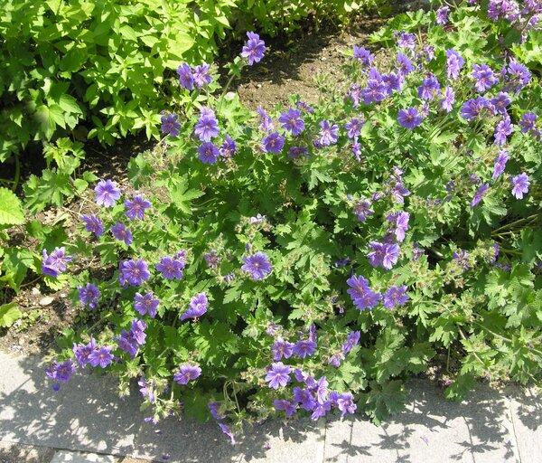Geranium x magnificum Hyl.