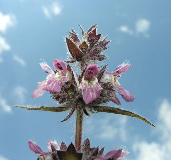 Stachys alpina L. subsp. alpina