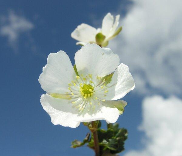 Ranunculus alpestris L.