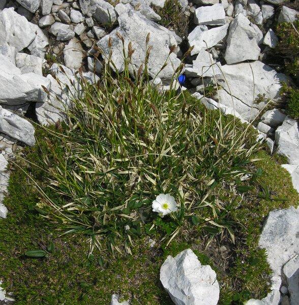 Carex myosuroides Vill.