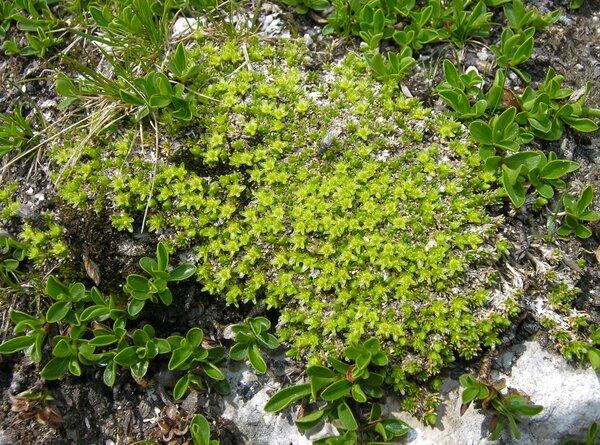 Cherleria sedoides L.
