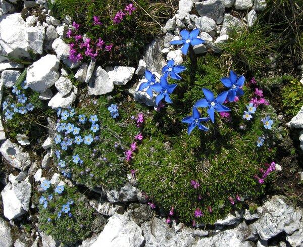 Gentiana terglouensis Hacq. subsp. terglouensis