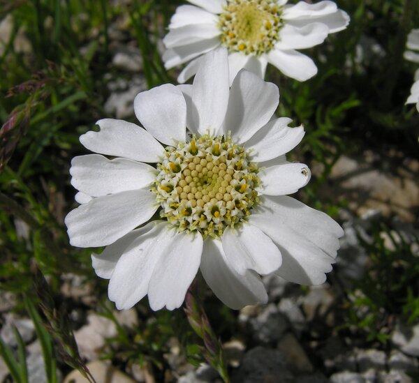 Achillea barrelieri (Ten.) Sch.Bip. subsp. oxyloba (DC.) F.Conti & Soldano