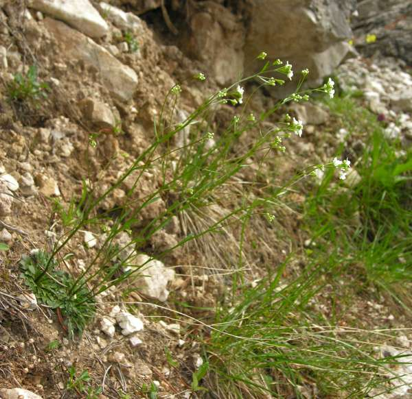 Kernera saxatilis (L.) Sweet subsp. saxatilis