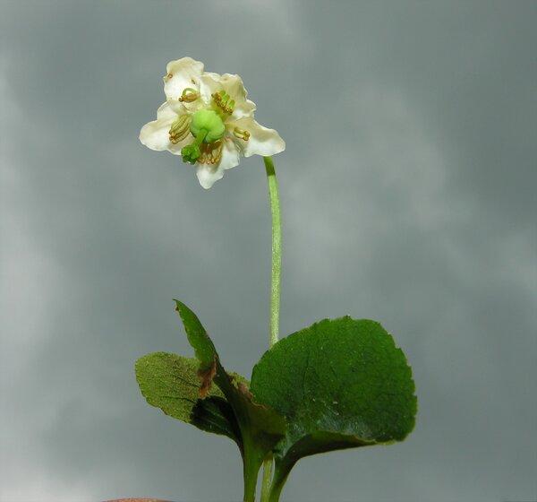 Moneses uniflora (L.) A.Gray