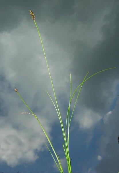 Carex dioica L.
