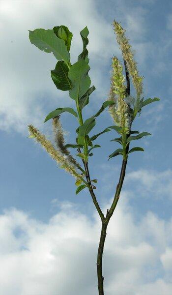 Salix waldsteiniana Willd.