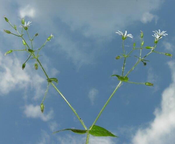 Stellaria nemorum L. subsp. nemorum
