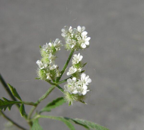 Torilis arvensis (Huds.) Link subsp. arvensis