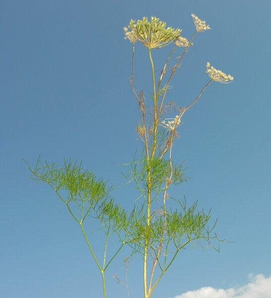 Athamanta turbith (L.) Brot. subsp. turbith