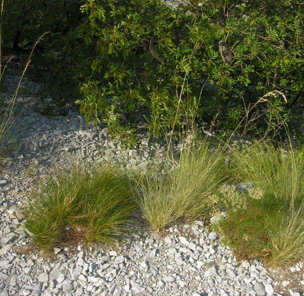 Leucopoa spectabilis (Jan ex Bertol.) H.Scholz & Foggi subsp. carniolica (Hack.) H.Scholz & Foggi