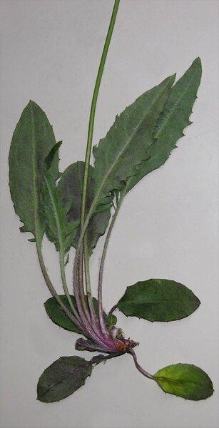 Hieracium dollineri Sch.Bip. ex Neilr. subsp. dollineri