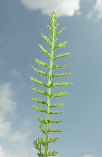 Achillea distans Waldst. & Kit. ex Willd. subsp. stricta (Gremli) Janch.