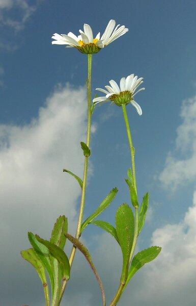 Leucanthemum heterophyllum (Willd.) DC.