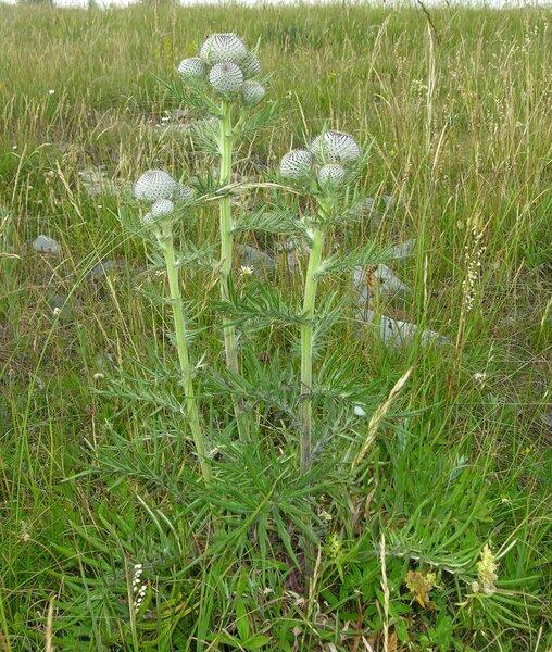 Cirsium eriophorum (L.) Scop. subsp. eriophorum