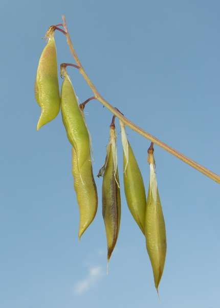 Ervilia sylvatica (L.) Schur