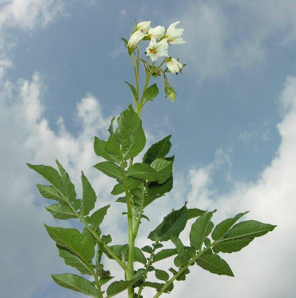 Solanum tuberosum L.