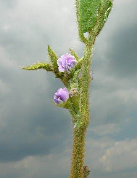 Glycine max (L.) Merr. subsp. max