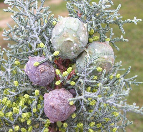 Hesperocyparis glabra (Sudw.) Bartel