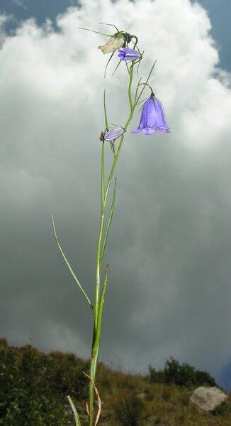 Campanula carnica Schiede ex Mert. & W.D.J.Koch subsp. carnica