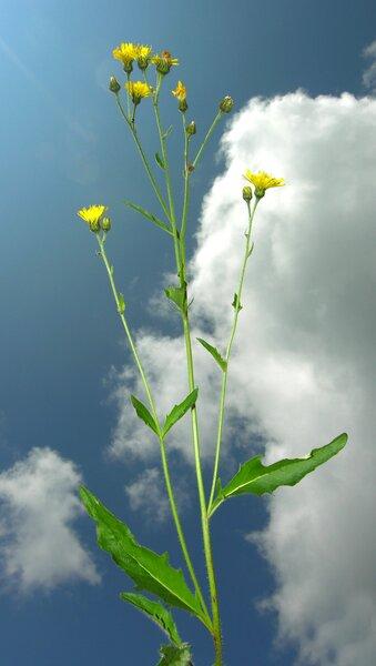 Crepis conyzifolia (Gouan) A.Kern.
