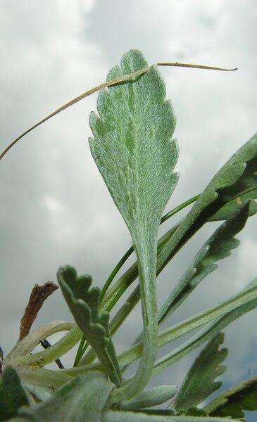 Jacobaea insubrica (Chenevard) Galasso & Bartolucci