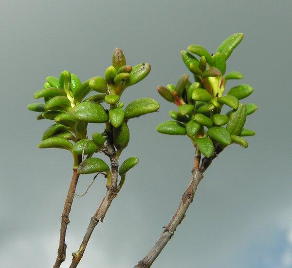 Kalmia procumbens (L.) Gift, Kron & Stevens ex Galasso, Banfi & F.Conti