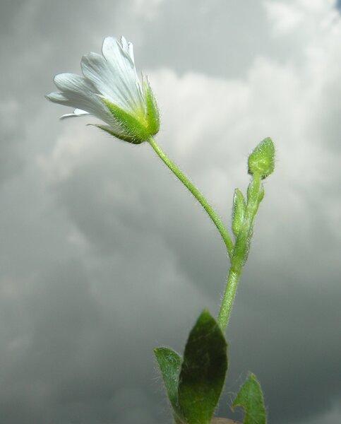 Cerastium alpinum L.