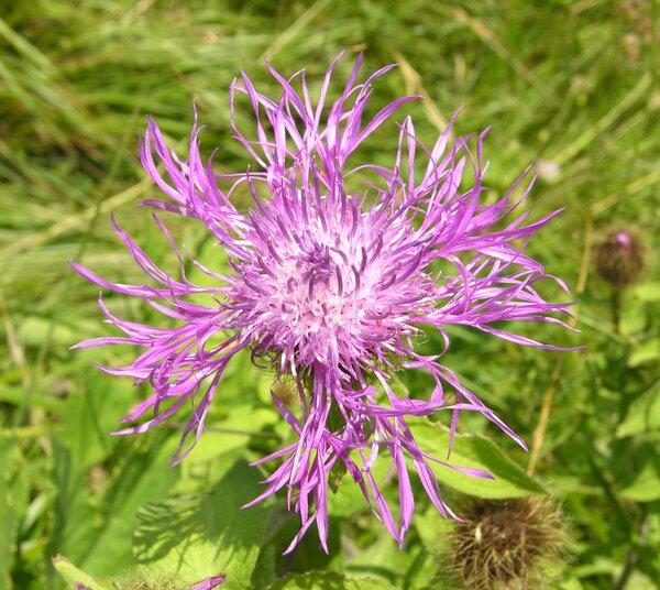 Centaurea pseudophrygia C.A.Mey.
