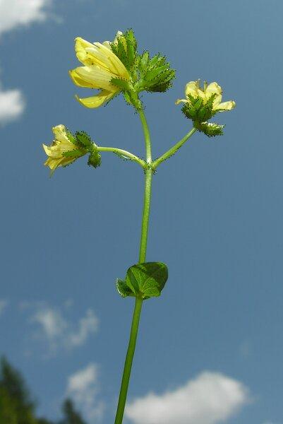 Hypericum montanum L.