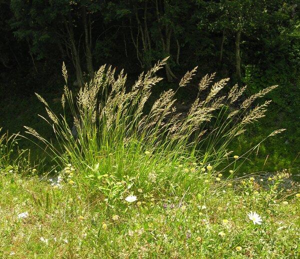 Calamagrostis arundinacea (L.) Roth