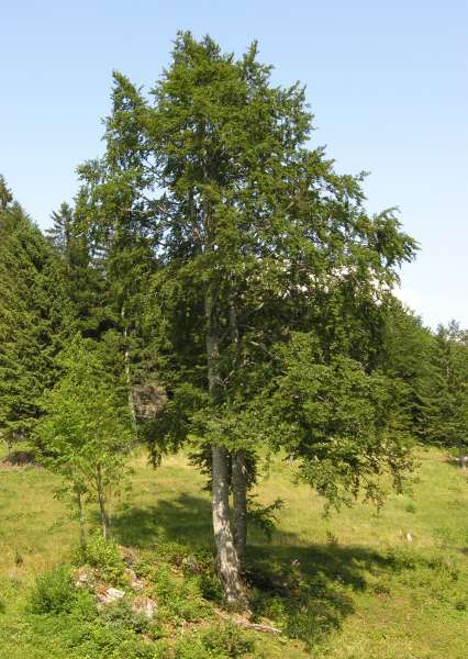 Fagus sylvatica L. subsp. sylvatica
