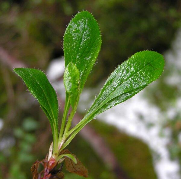 Arctostaphylos alpinus (L.) Spreng.