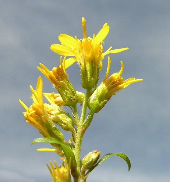 Solidago virgaurea L. subsp. virgaurea