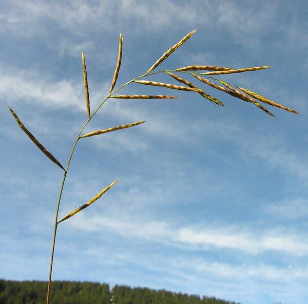 Brachypodium rupestre (Host) Roem. & Schult.