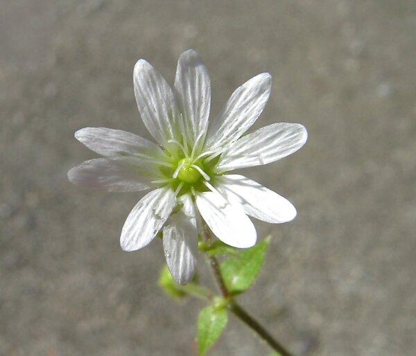 Cerastium sylvaticum Waldst. & Kit.