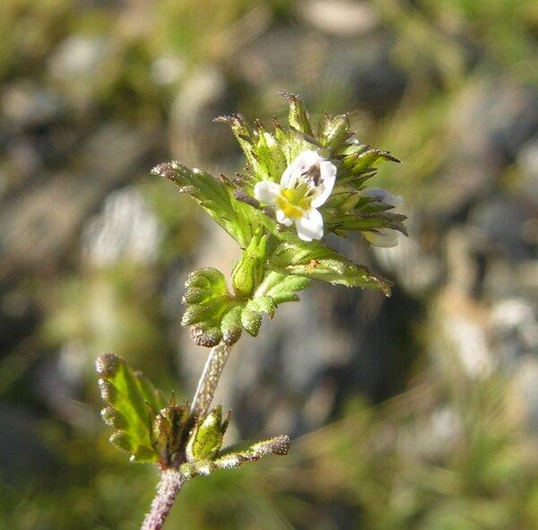 Euphrasia minima Jacq. ex DC.