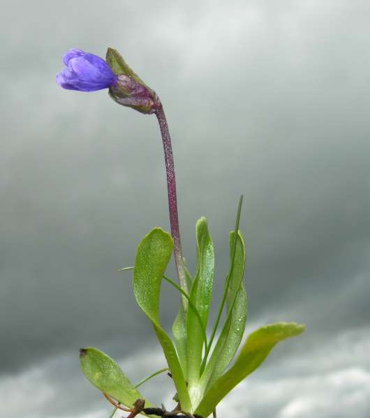 Primula glutinosa Wulfen