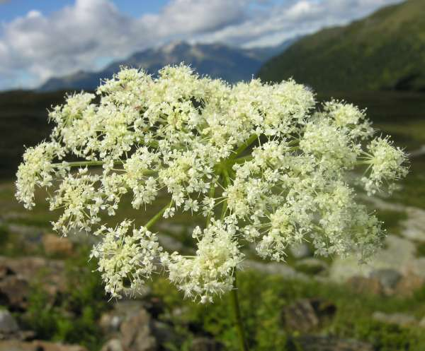 Angelica sylvestris L. subsp. montana (Brot.) Arcang.