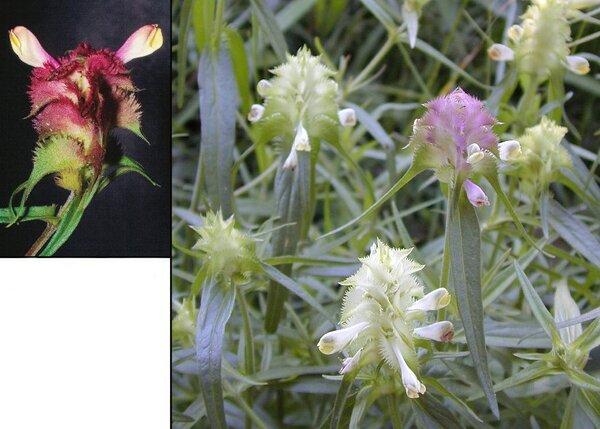 Melampyrum cristatum L. subsp. cristatum