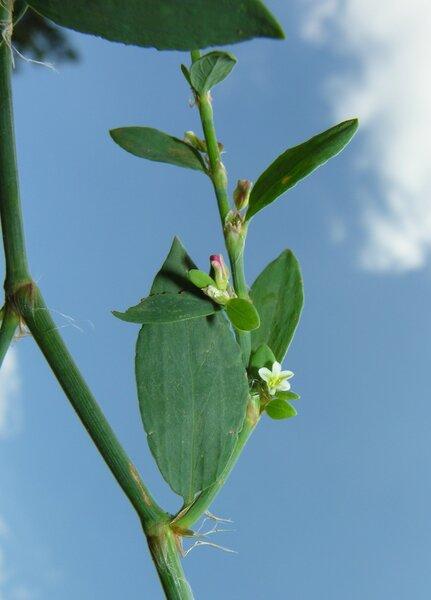 Polygonum aviculare L. subsp. aviculare