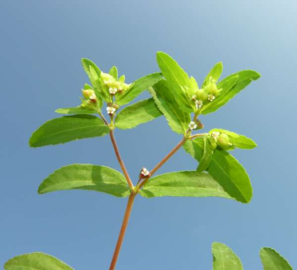 Euphorbia nutans Lag.