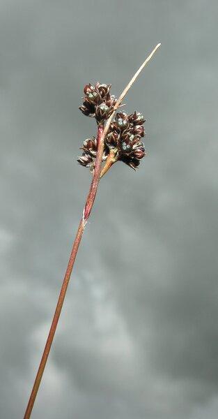 Luzula alpina Hoppe