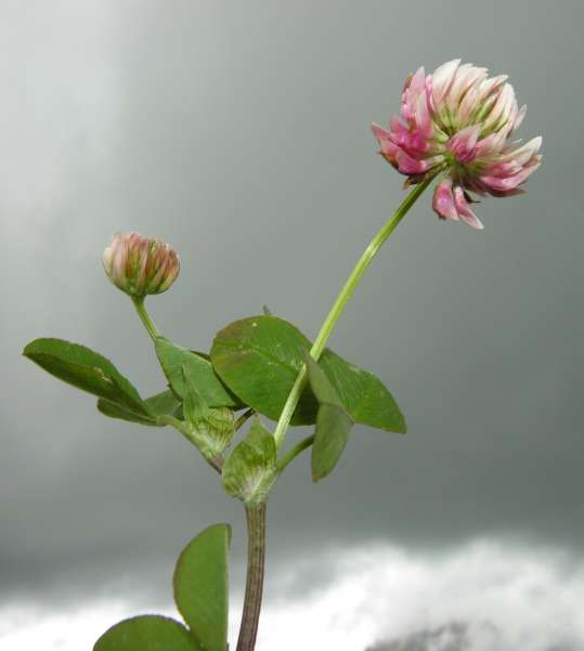 Trifolium pallescens Schreb.