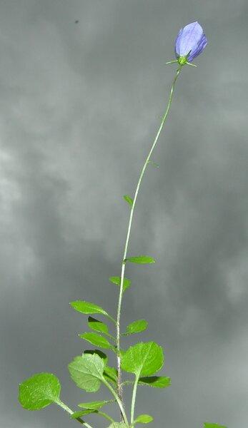 Campanula cochleariifolia Lam.